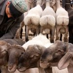 Kashgar: Fat Bottomed Sheep, You Make the Rockin' World Go Round