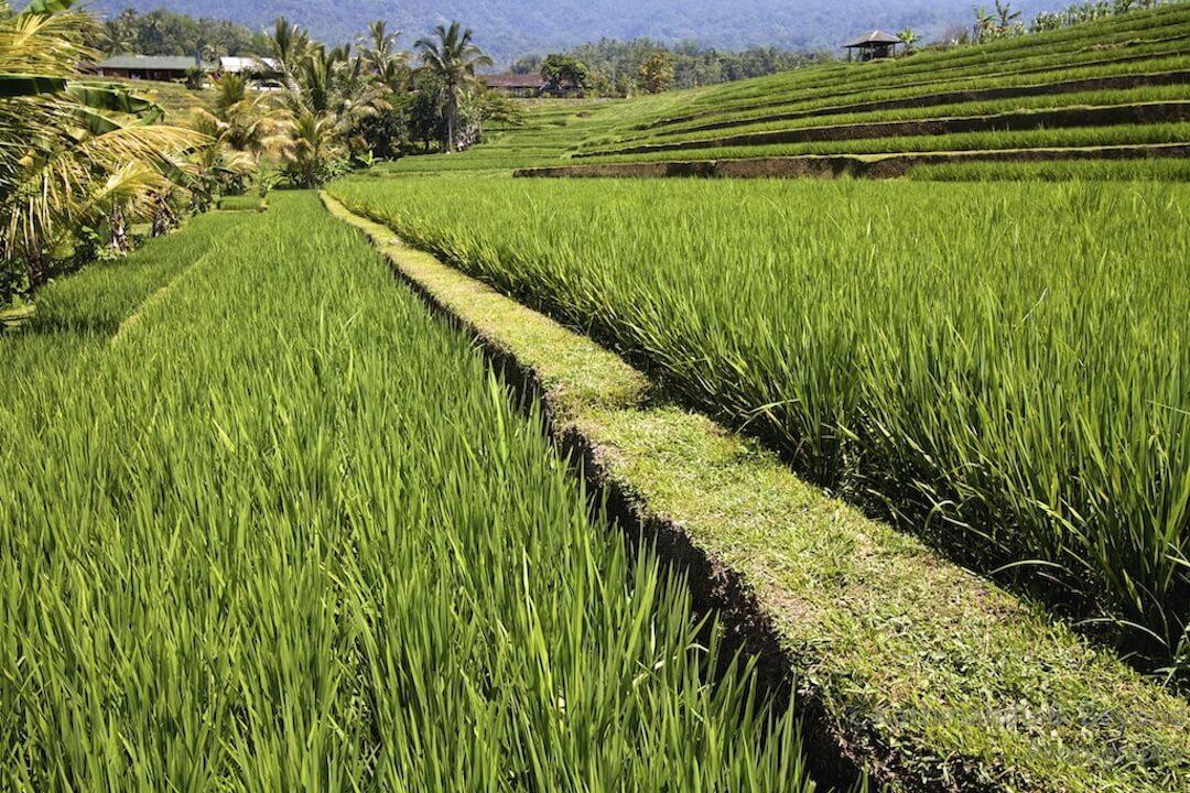 Jatiluwih Rice Terraces Bali Indonesia (4)