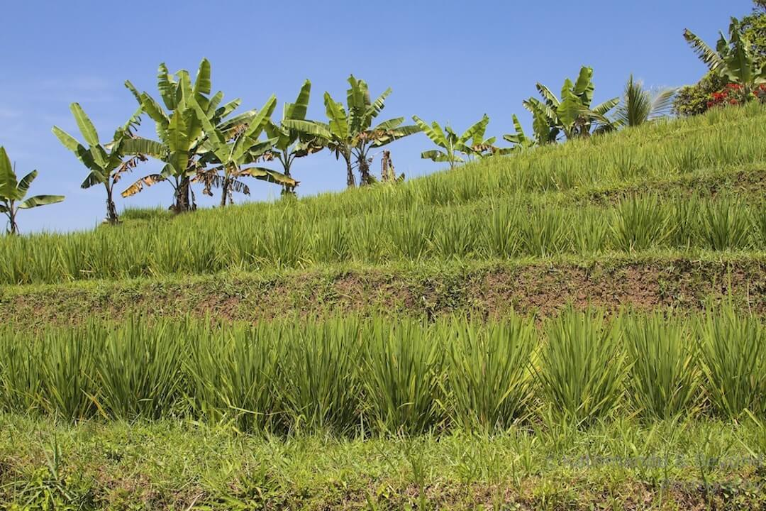 Jatiluwih Rice Terraces Bali Indonesia