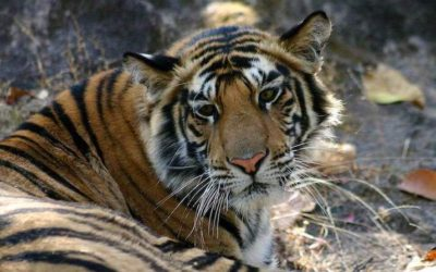 Friday Flashback | Tiger spotting in Bandhavgarh National Park, India
