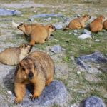 Travel Shot | Feeding Himalayan marmots in Ladakh, India