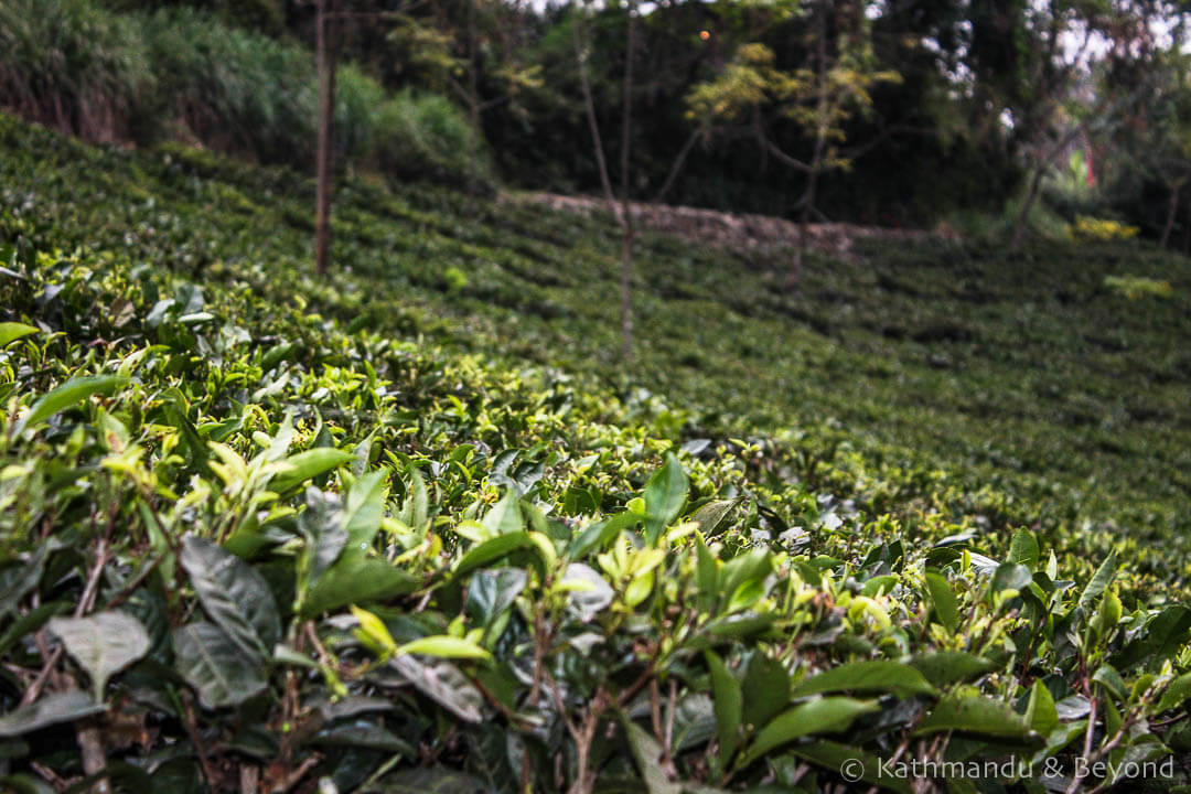 Darjeeling. Glenburn Tea Estate 26